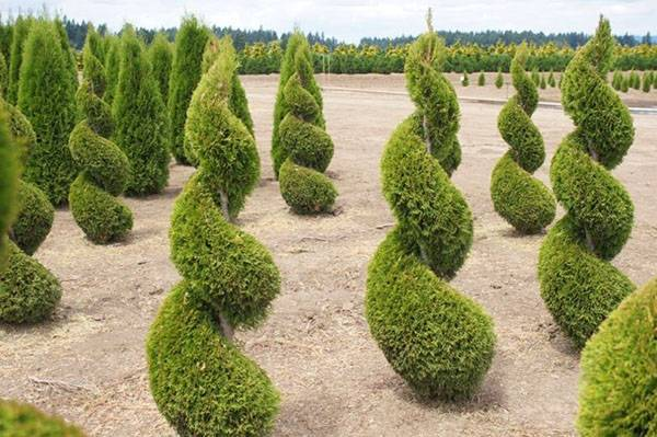 Туя смарагд высота взрослого растения