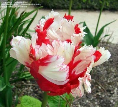 Тюльпаны описание растения