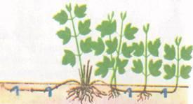 Как размножается калина