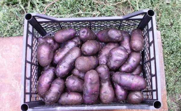 Картофель чугунка описание сорта фото
