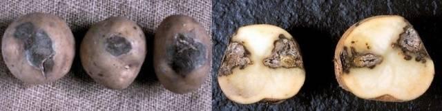 Железистая пятнистость картофеля меры борьбы