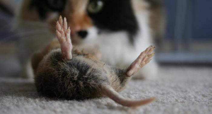 Отрава от мышей в домашних условиях