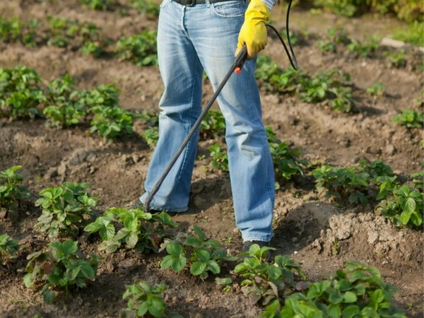 Уход за викторией после сбора урожая