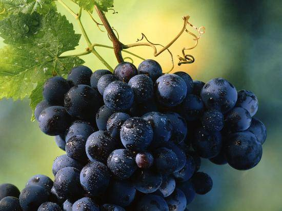 Виноград тающий