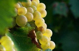 Устойчивые сорта винограда к болезням и морозам