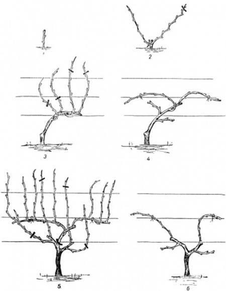 Схема обрезки винограда осенью в картинках
