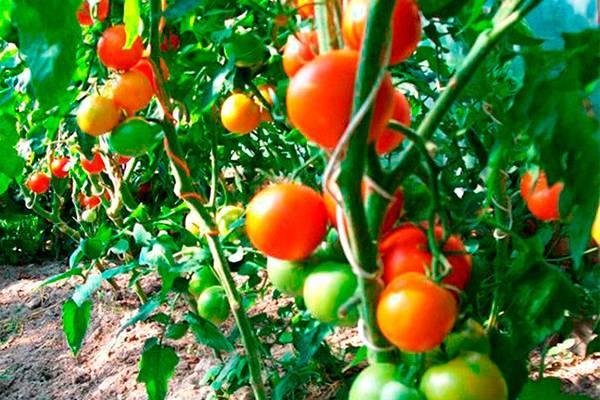 Сливовидные сорта томатов для теплиц