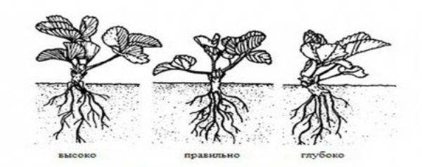Клубника посадка весной и уход