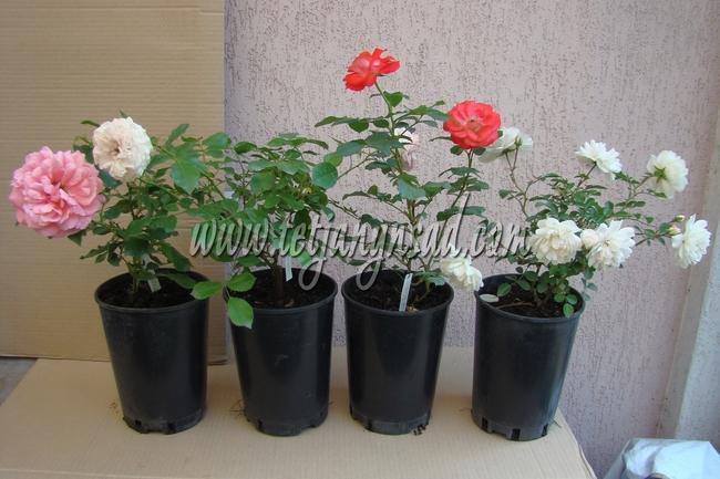 Роза гольдштейн плетистая