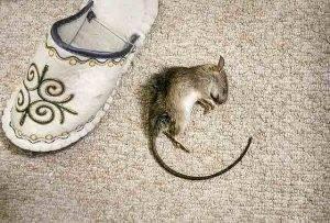 Как избавить от мышей в доме