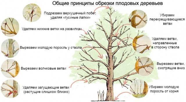 Правила обрезки яблонь осенью