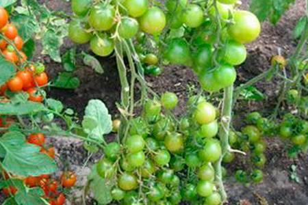 Самые лучшие томаты для подмосковья