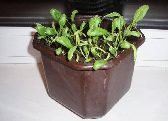 Как на подоконнике выращивать свежую зелень