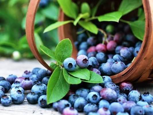Голубика садовая посадка и уход размножение