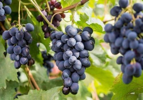 Виноград ширвиндта описание сорта фото