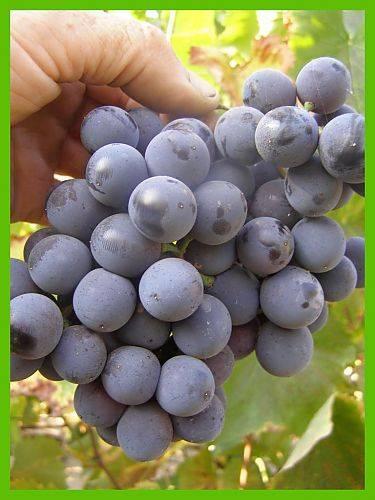 Виноград гриф описание сорта фото