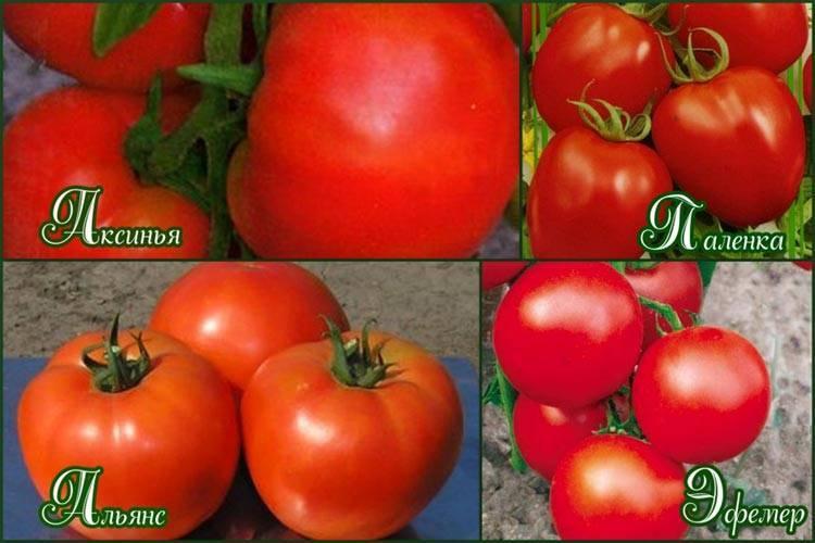 Мясистые сорта томатов для теплиц