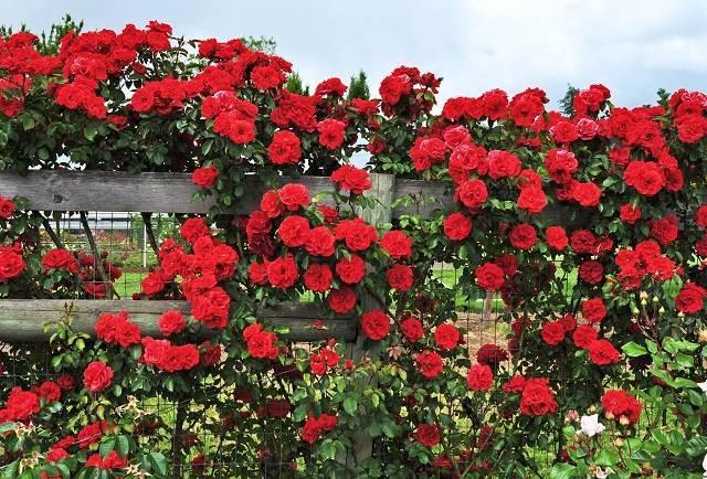 Florentina роза