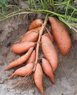 Кормовая картошка фото