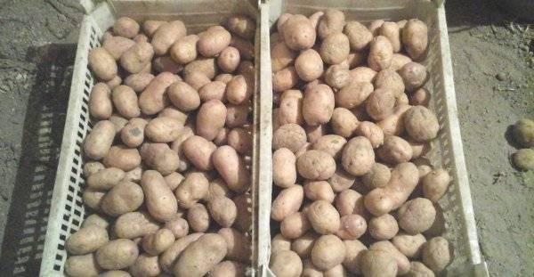 Картофель боровичок
