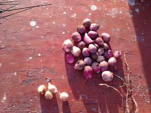 Как сохранить зимой луковицы гладиолусов