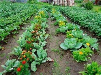 Как правильно расположить грядки на огороде