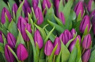 Хранение тюльпанов в домашних условиях