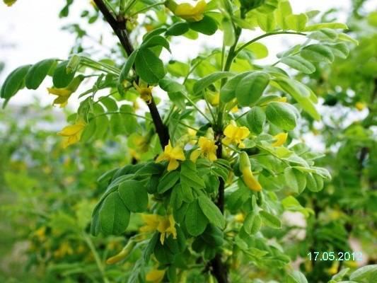 Цветущие кусты цветы многолетние фото
