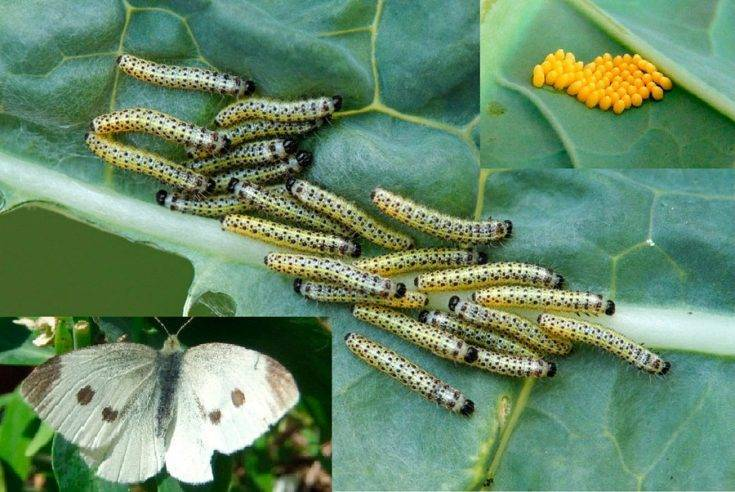 Бабочка белянка фото