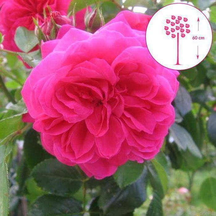 Роза sangria