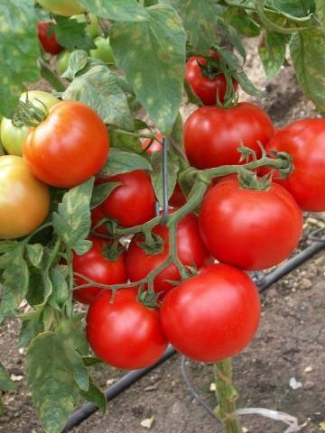 Сорта кистевых томатов с фото и описанием