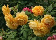 Роза сориор взалтен