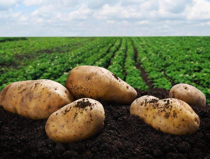 Как сохранить картошку на зиму