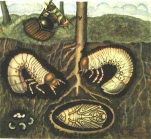 Как выглядит личинка майского жука фото