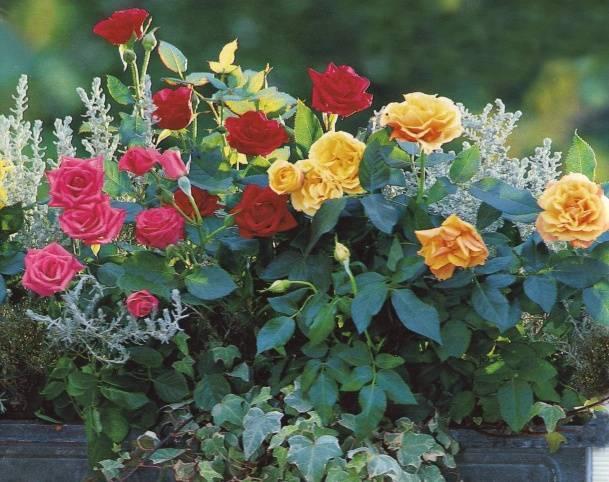 Правильная посадка роз осенью