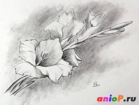 Гладиолус рисунок