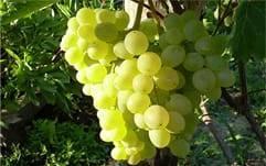 Виноград зеленый сорта