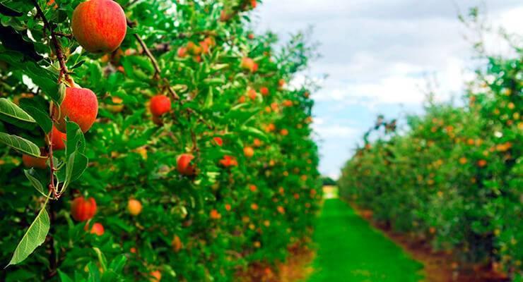 Осенние сорта яблонь для средней полосы фото