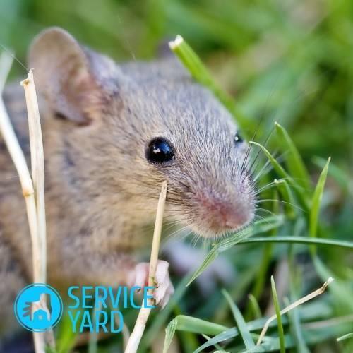 Как вывести мышей из квартиры народными средствами