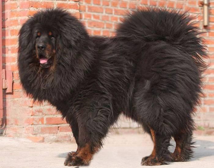 Собаки охранники средних размеров