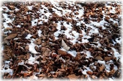 Можно ли укрывать клубнику листьями ореха