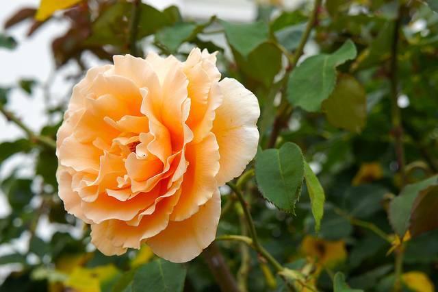 Роза парковая реми мартин
