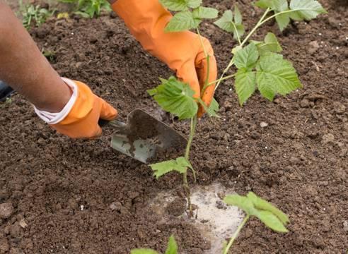 Как выращивать ремонтантную малину