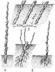 Как вырастить саженцы смородины из черенков