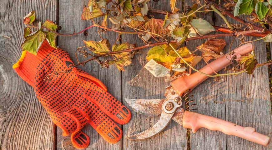 Обрезка лозы винограда осенью