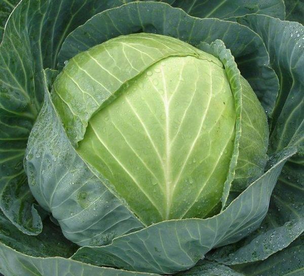 Сорт капусты для засолки на зиму