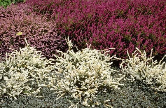 Эрика растение фото на даче