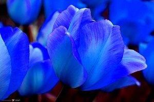 Синие тюльпаны фото