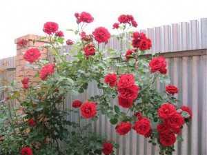 Можно ли выкапывать розы на зиму