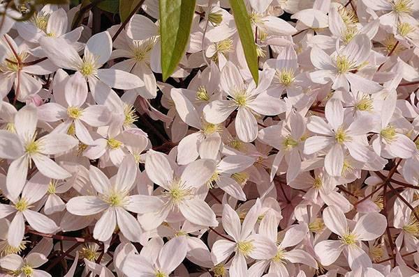 Клематис бурый изабель выращивание из семян